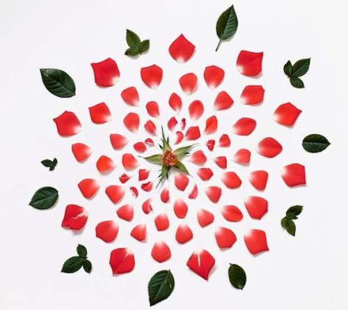 Red_rose_exploded